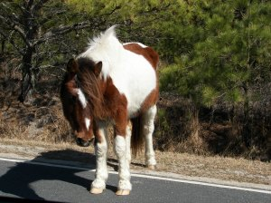 """""""greeter"""" wild horse welcomed us to Assateague Island"""